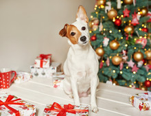 New Year Dog Jack Russell Terrier Is Sitting Near The Christmas Tree