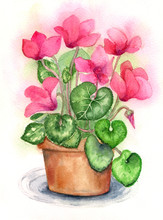 Cyclamen Flowers In Pot Waterc...