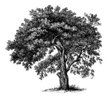Apple Tree - Vintage Engraving Illustration