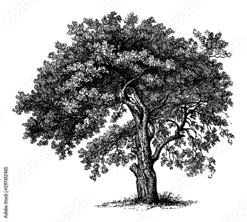 Fototapeta  Apple Tree - Vintage Engraving Illustration