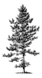 Pinus Nigra (czarna sosna) - Vintage grawerowanie ilustracji - 297612859