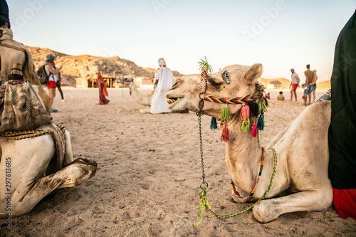 In de dag Kameel camels in desert