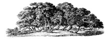 Mulberry Trees - Vintage Engraving Illustration