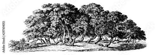Mulberry Trees - Vintage Engraving Illustration Canvas-taulu
