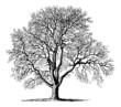 Juglans (Walnut Tree) - Vintage Engraving Illustration