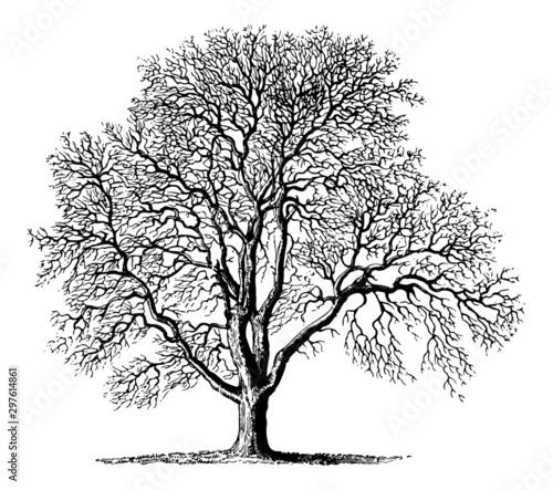 Fotografie, Obraz  Juglans (Walnut Tree) - Vintage Engraving Illustration