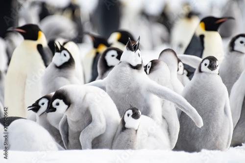Foto auf Gartenposter Antarktika Emperor Penguins chicks on ice in Antarctica