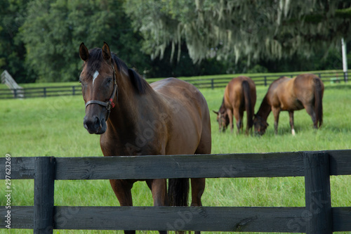 Beautiful horses on a horse breeding ranch in central Florida