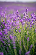 Field Of Lavender On A Sunny D...
