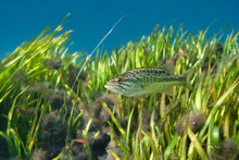A Beautiful Young Largemouth Bass (Micropterus Salmoides) Hovers Near An Eel Grass Bed. Largemouth Bass Are Highly Prized By Sport Fishermen, And Are The State Freshwater Fish Of Florida.