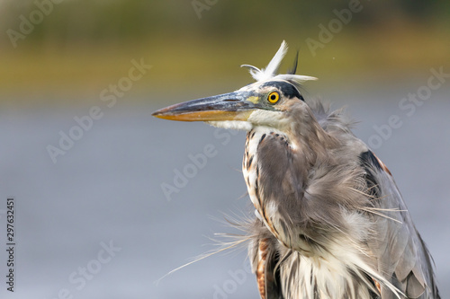 Photo Great Blue Heron (Ardea herodias) having a bad hair day on a blustery afternoon in Florida