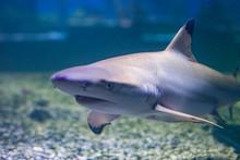 Blacktip Reef Shark. Carcharhi...
