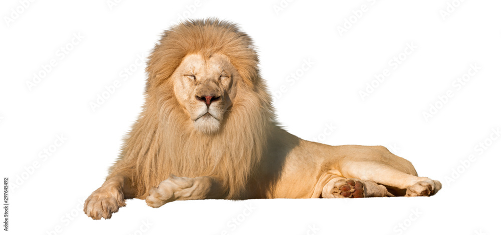 Fototapeta white lion lies eyes closed isolated on a white background