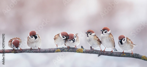 Foto op Plexiglas Vogel many little funny birds sparrows are sitting on a branch in the garden and cute quarrel
