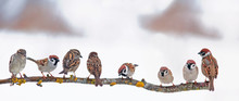 Many Little Funny Birds Sparrows Are Sitting On A Branch In The Garden And Cute Chirping