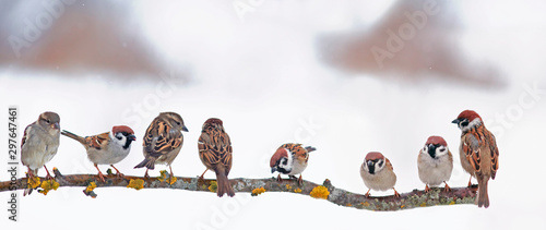 many little funny birds sparrows are sitting on a branch in the garden and cute Canvas Print