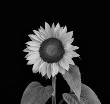 Monochrome Sunflower Macro On Black Background, Fine Art Still Life Blossom With Detailed Texture,green Leaves,stem