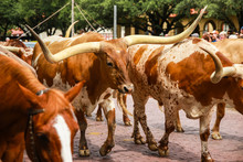 Longhorn Cattle Drive At The S...