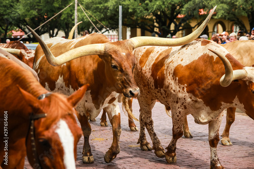 Foto Longhorn Cattle Drive at the stockyards of Fort Worth, Texas, USA