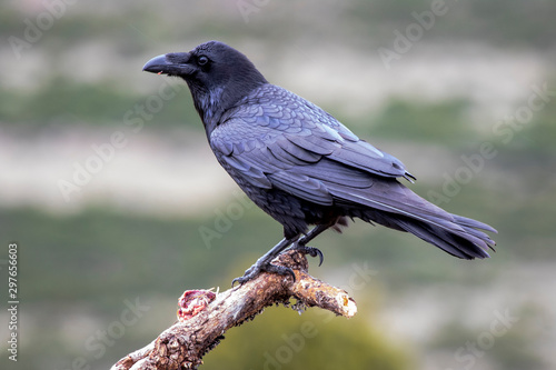 Photo  Common raven (Corvus corax), perched on a log. Wild animal life.