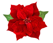 Red Christmas Flower Poinsetti...