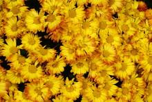 Fall Yellow Mum Flowers Isolated