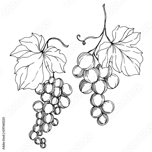 Vector Grape berry healthy food. Black and white engraved ink art. Isolated grapes illustration element. Fototapete