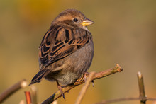 Portrait Of House Sparrow (passer Domesticus) Perched On Bush