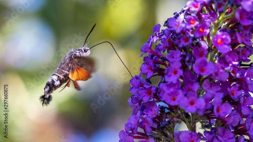 Obraz na plátně Hummingbird Moth Hovering Next To A Flower