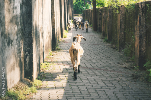plakat Goats in a narrow alley in the city center of Fort Kochi, Kerala, India