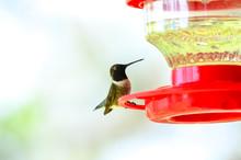 Male Ruby-throated Hummingbird...