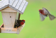 Male House Finch On Bird Feeder With Another Flying In To Join Him.  Soft Focus Background.
