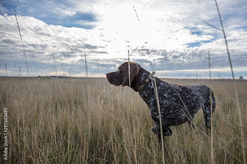 hunting dog Fototapete