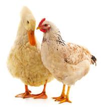 White Duck And Chicken.