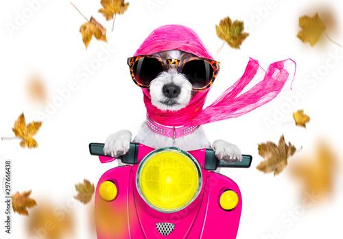 Foto op Plexiglas Crazy dog motorcycle diva dog on autumn or fall