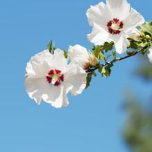 (Hibiscus Syriacus) Fleurs Bla...