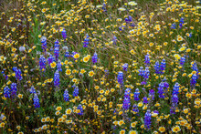 Daisies And Lupins