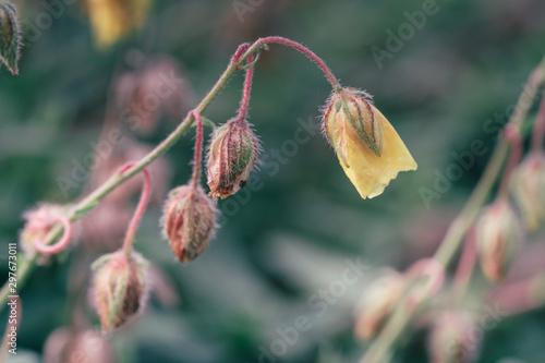 Fototapeta Żółty kwiat na łodydze obraz