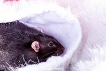 A Dark Gray Rat On A White Background