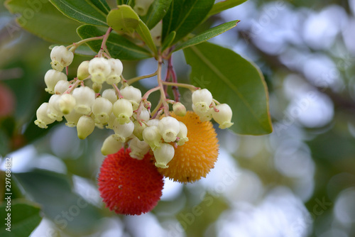 Fotografiet fruits of Arbutus unedo yellow and red in autumn
