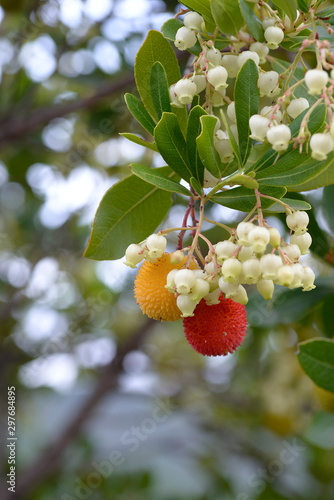 Photo fruits of Arbutus unedo yellow and red in autumn