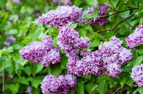 Foto op Plexiglas Lilac Spring lilac flowers
