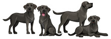 Black Labrador Retriever. Standing And Sitting Labradors Isolated On White. The Dog Is Lying. Young And Friendly Dogs.