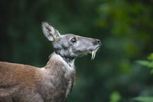 Siberian Musk Deer With Long Fangs. Close-up Portrait Of Cute Male Musk Deer With Terrible Sharp Tusks In Summer Forest.