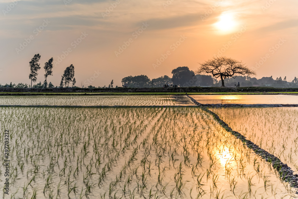 Fototapety, obrazy: Young rice sprouts ready to growing in the rice field in Hanoi, Vietnam