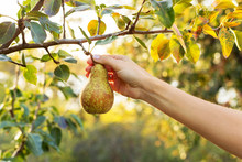 Female Hand Holds Beautiful Tasty Ripe Pear On Branch Of Apple Tree In Orchard For Food Or Juice, Harvesting. Autumn Harvest In The Garden Outside. Village, Rustic Style. Eco, Farm Products.