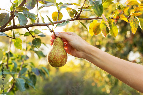 Leinwand Poster Female hand holds beautiful tasty ripe pear on branch of apple tree in orchard for food or juice, harvesting