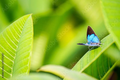 Beautiful blue butterfly sitting on leaf in flower garden. Tablou Canvas
