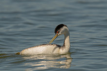 Western Grebe Swims And Preens...