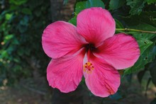 Close Up, Side View Shot Of A Blooming Red Hibiscus Or Gumamela